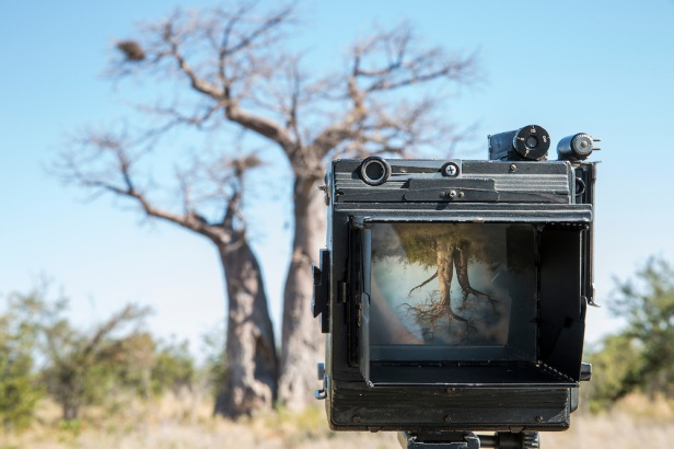 Baobab tree viewed through Speed Graphic, Nxai Pan National Park, Botswana