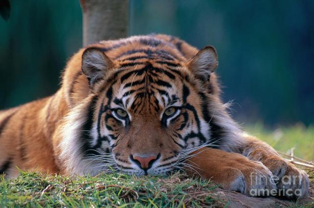 bengal-tiger-art-wolfe