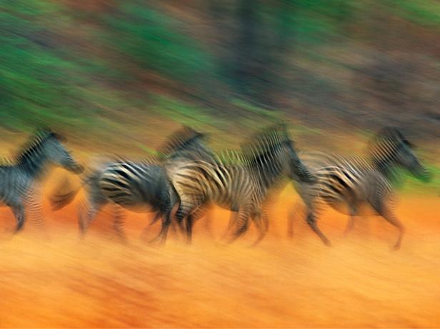 Burchell's Zebras, Zimbabwe