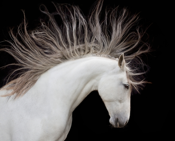 Andalusian horse, Washington, USA