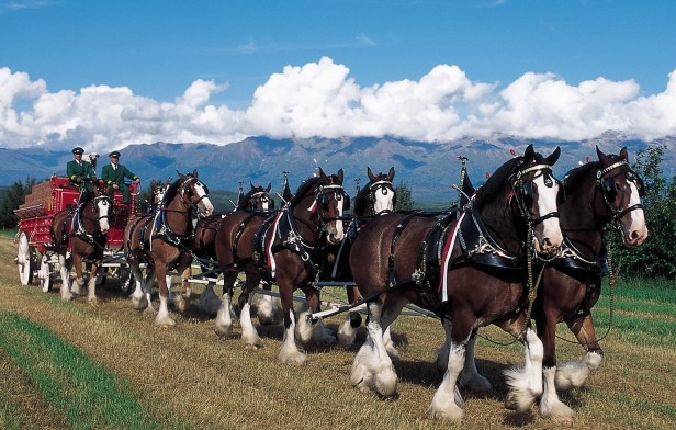 bud-clydesdales