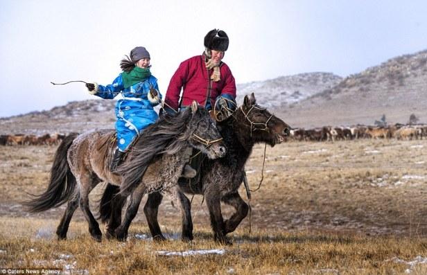 mongol horses