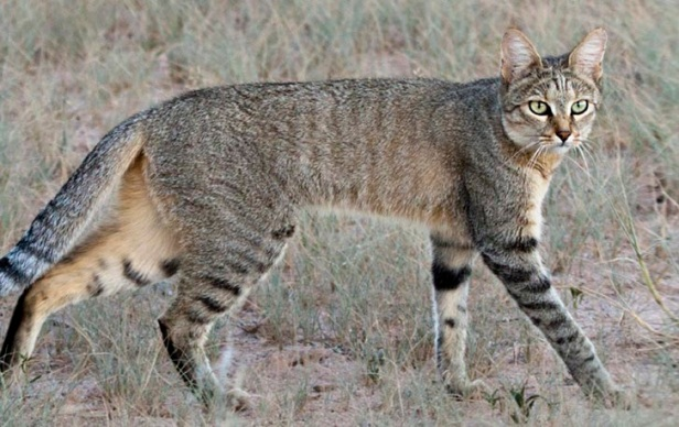 african-wildcat_banner